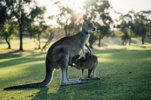 canguro en peligro de extinción