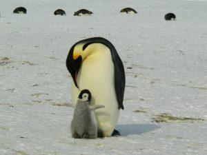 pinguino en peligro de extinción