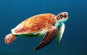 tortuga marina en peligro de extincion